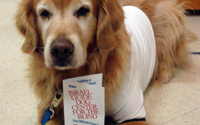DALET dog Zoe Brooks studies the brochure for the Israel Guide Dog Center for the Blind, while wearing a center T-shirt. Photo courtesy Congregation Adath Israel
