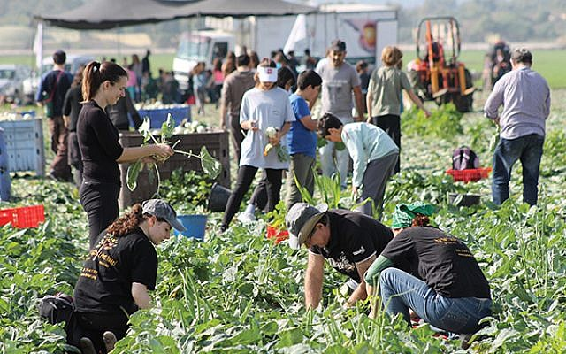 Above and right: Many of the 56,000 volunteer who glean and package produce and food for Leket, Israel's national food bank and rescue organization, are millennials. (Courtesy of Leket)