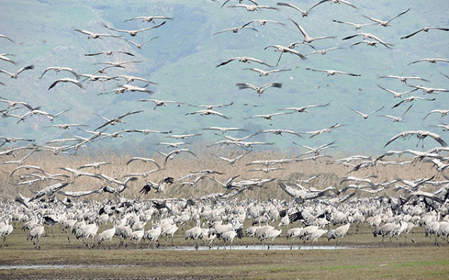 Shai Agmon is director of the Hula Valley Avian Research Center for Keren Kayemeth L'Yisrael-Jewish National Fund, which manages the valley's birdwatching park.