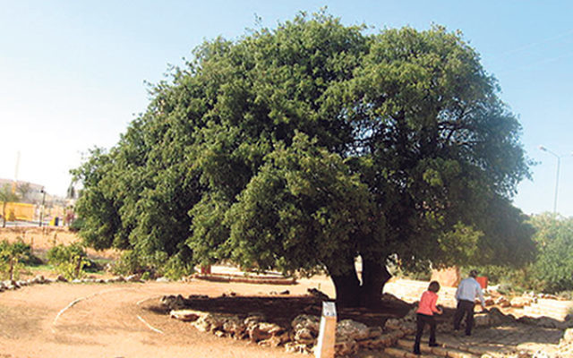 The famous Lone Oak in Gush Etzion, Israel