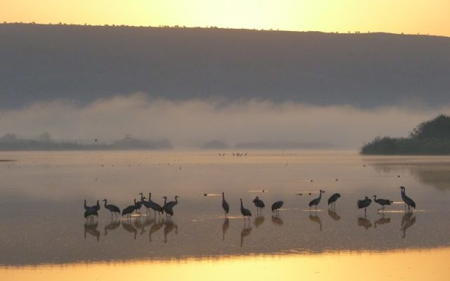 Cranes work the shallows as dawn breaks over a small lake in the Hula Valley of Israel.