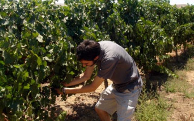 Jeffrey Yoskowitz cultivates grapes grown by a former researcher at the Ramat Negev Desert AgroResearch Center.