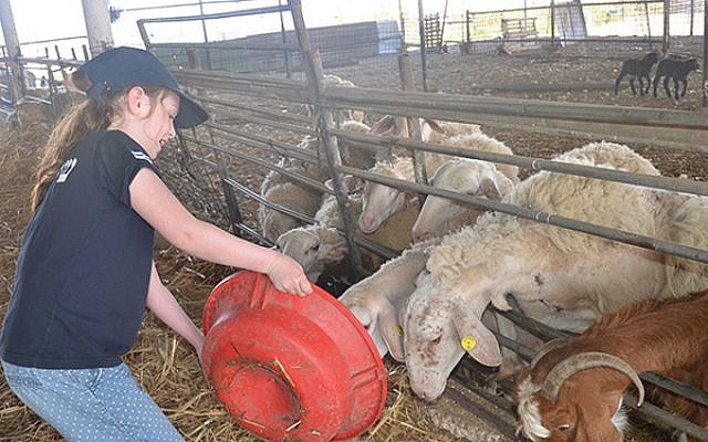 A young volunteer tends to the sheep on a Negev farm.