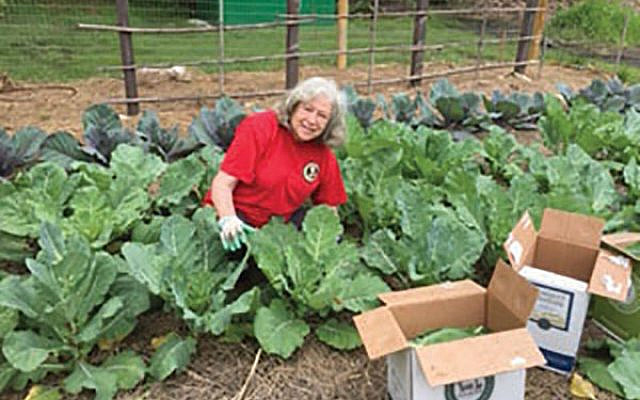 Monmouth Reform Temple Master Gardener Gloria Gross harvests collard greens, a hearty fall crop.