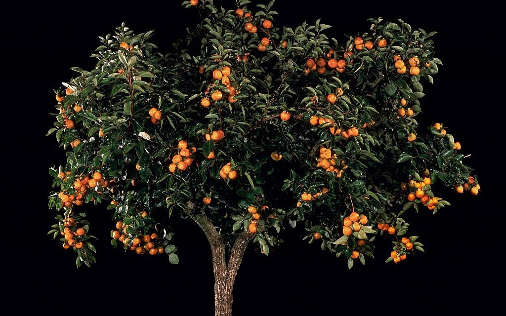 Tal Shochat, Afarsemon (Persimmon) (from a series along with Afarsek (Peach), Shaked (Almond), Tapuach (Apple), and Rimon (Pomegranate)), 2011. C-prints, 16.5 x 17 in. Collection of Gary B. Sokol. (Photo credit: courtesy of Andrea Meislin Gallery, New York)