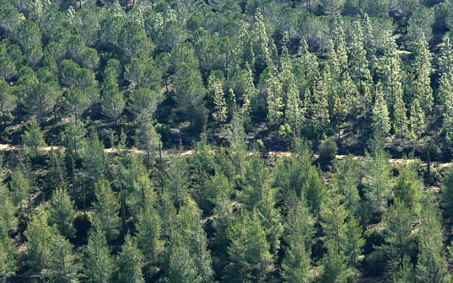Pine and cypress trees in the Jerusalem Forest (photo credit: Nati Shohat/Flash 90)