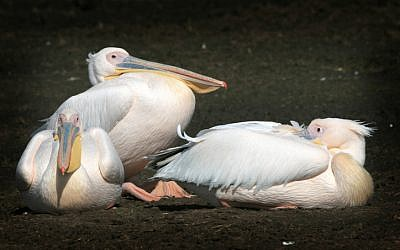 White pelicans at Hula Lake in northern Israel (Nati Shohat/Flash90)