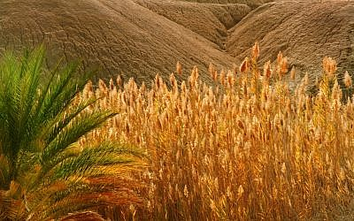 A wheat field in southern Israel (photo credit: Doron Horowitz/Flash90)
