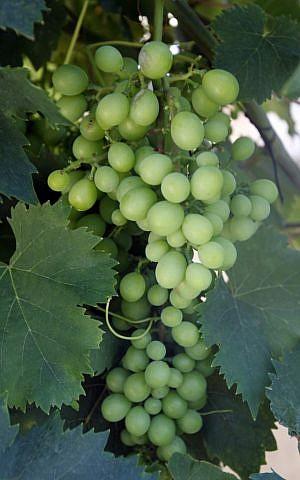 Israeli grapes (Flash90)