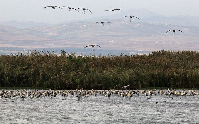 Migrating Black Storks prepare to spend the night at a water reservoir before heading south at the Hula Lake in the Hula Valley (Photo by Kobi Gideon / FLASH90)