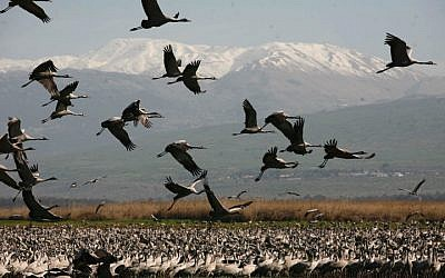 Cranes at the Hula Lake in northern Israel. Cranes are the highlight of bird-watching tours. (photo credit: Nati Shohat/Flash90)