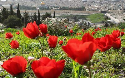 Anemones east of Jerusalem (photo credit: Nati Shohat/Flash90)