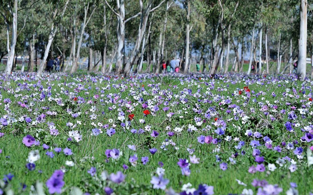 Anemones near Megiddo (photo credit: Shay Levy/Flash 90)