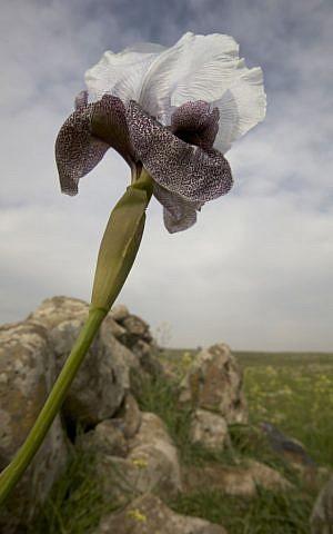 Wild iris in the Golan Heights (photo credit: Doron Horowitz/Flash90)