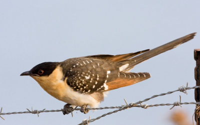 A Great Spotted Cuckoo in the Judean lowlands (photo credit: Yuval Perlman)