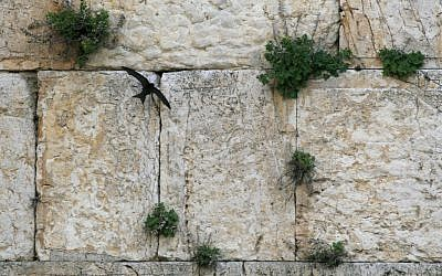 A common swift bird at the Western Wall (photo credit: Olivier Fitoussi /Flash90)