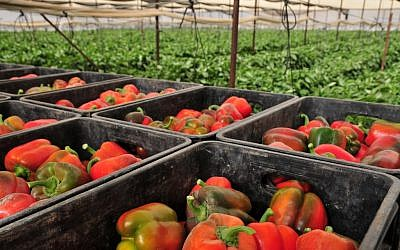 Peppers picked from the Faran farm in the Arava desert (photo credit: Shay Levy/ Flash 90)