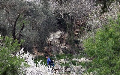 Almond trees in the Judean Hills (photo credit: Yossi Zamir/Flash 90)