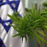 A medical marijuana plant (photo credit: Kobi Gideon/Flash90)