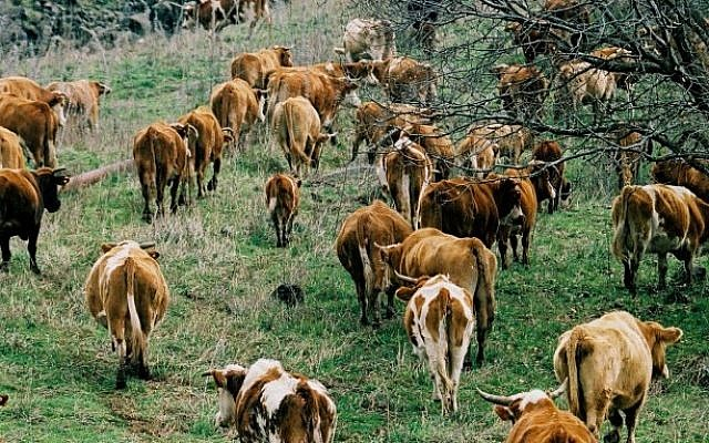 A herd of cattle graze in the Golan Heights (photo credit: Moshe Shai/Flash90)
