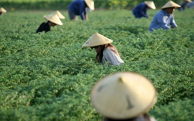 Chinese workers labor in a field (Photo credit: Moshe Shai/Flash90)