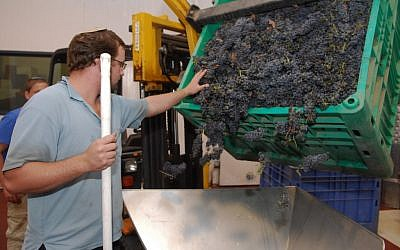 Grape sorting in the Golan Heights (photo credit: Flash90)