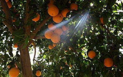 Orange orchard near Netivot. (Photo credit: Yaakov Naumi/Flash90)