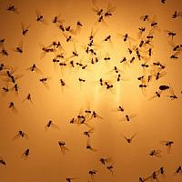 Flies seen at sunset. (Nati Shohat/Flash90)