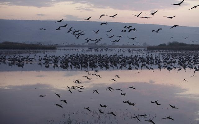 Birds flying over the Hula Lake in the Hula Valley in December (photo credit: Haim Shohat/Flash90)