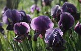 Irises of the variety stolen en masse from local nature reserves (photo credit: Yossi Zamir/Flash90)