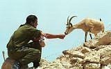 Israeli soldier feeding a wild ibex in the desert (photo credit: Flash90)