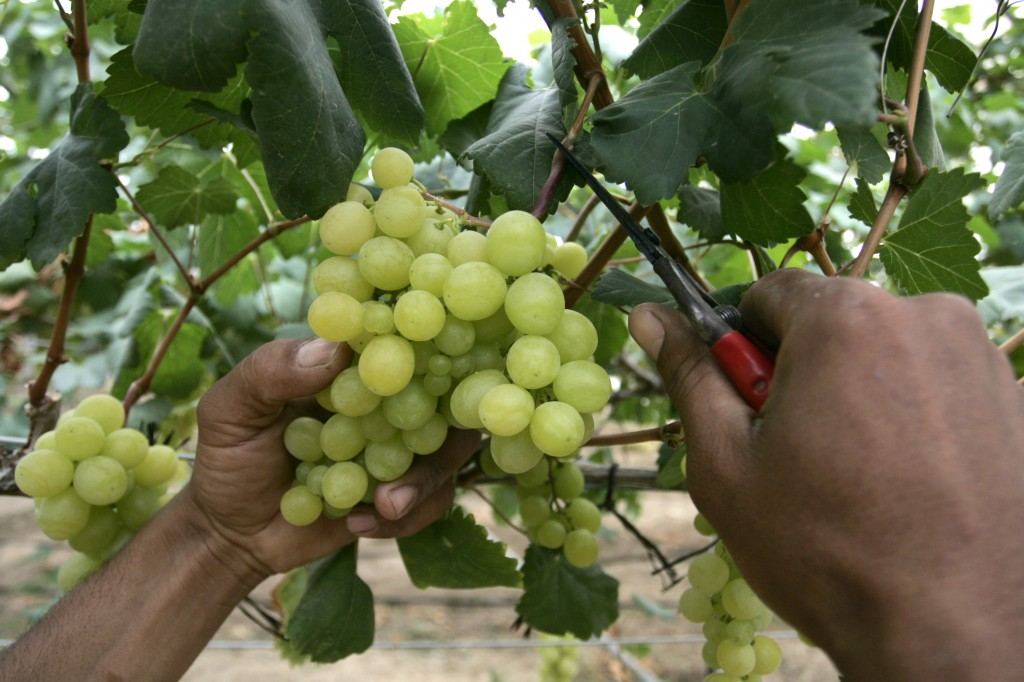 Harvesting grapes (photo credit: Rahim Katib/Flash 90)