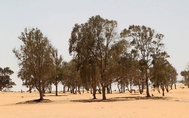 Eucalyptus trees in the Negev desert (Illustrative photo credit: Nati Shohat/Flash90)