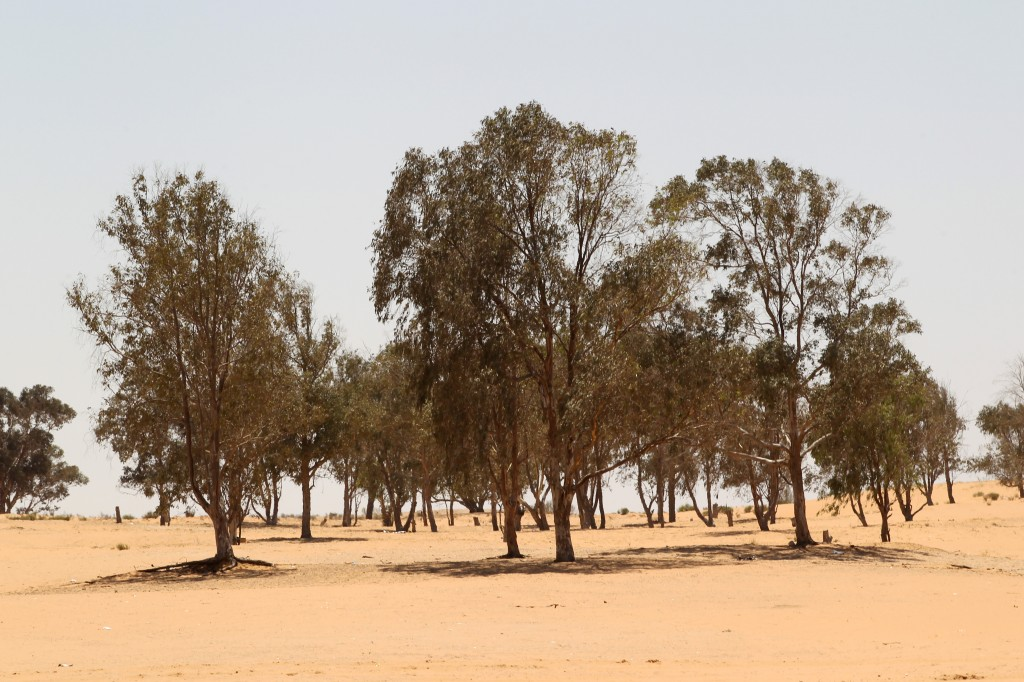Eucalyptus trees in the Negev desert. (Illustrative photo credit: Nati Shohat/Flash90)