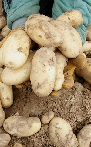 Potatoes (Photo credit: Abed Rahim Khatib/Flash 90)