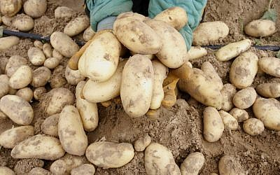 Potatoes (Photo credit: Abed Rahim Khatib/Flash 90)