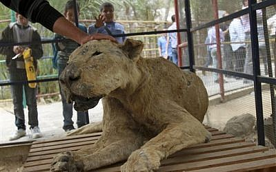 In this photo taken Wednesday, April 18, 2012 Palestinian schoolchildren watch zoo owner Mohammed Awaida pet a mummified lion at the Khan Younis zoo, southern Gaza Strip. (AP Photo/Adel Hana)