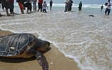 A rehabilitated sea turtle heading back to the sea after being released by members of the national center for saving sea turtles. (illustrative photo credit: Gili Yaari/Flash90)