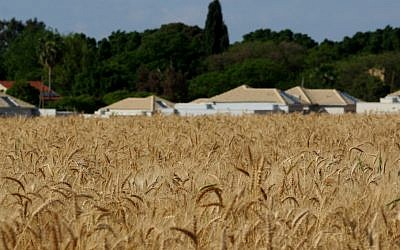 Wheat fields near Kibbutz Einat in central Israel (Photo credit: Moshe Shai/Flash90)
