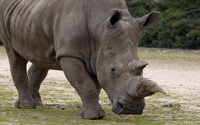 A rhino at the Ramat Gan Safari (photo credit: Tibor Jager/Flash90)