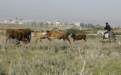 Cows graze in the south of Israel; Gaza can be seen in the background (photo credit: Anna Kaplan/Flash90)