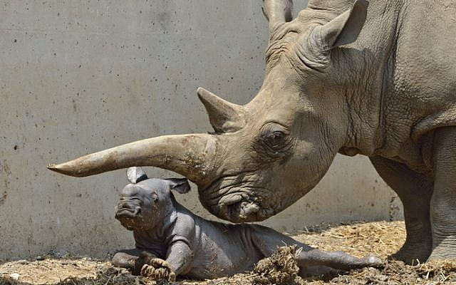 A baby rhino was born to mother Tendra at the Ramat Gan Safari on Friday (photo credit: Tibor jager/Ramat Gan Safari/Flash90)