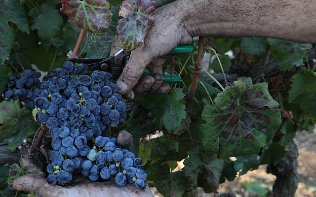 Illustrative photo of wine grapes. (Yaakov Naumi/Flash90)
