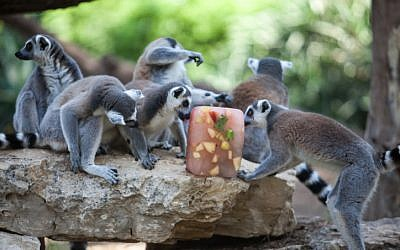 Lemurs eating flavored ice at the Ramat Gan Safari on Thursday. (photo credit: Uri Lenz/Flash90)