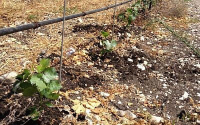 Grapes in the ground (photo credit: Jessica Steinberg/Times of Israel)