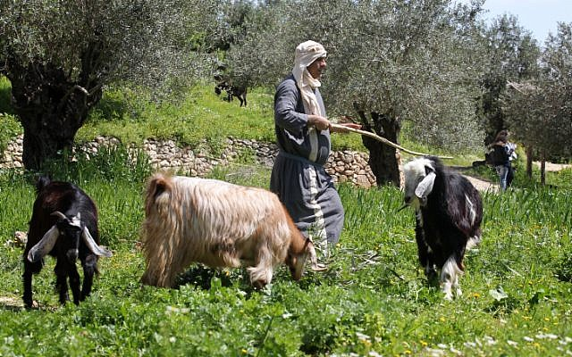 An illustrative photo of a shepherd tending to his flock (photo credit: Nati Shohat/Flash90)
