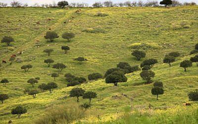 Carob trees in the Jezreel Valley (photo credit: Nati Shohat/Flash 90)
