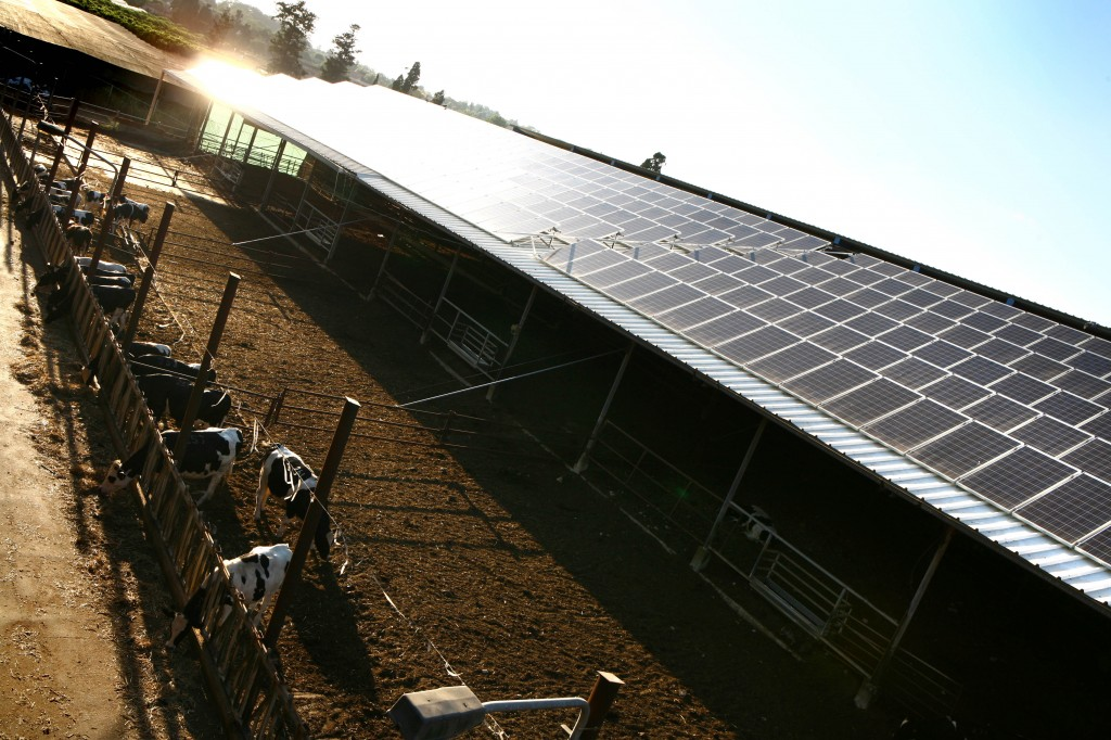 Photo voltaic solar panels atop a cow shed on Kfar Vitkin. (Chen Leopold/Flash90)