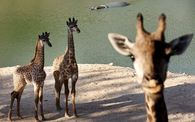 Giraffes at the Jerusalem Biblical Zoo (photo credit: Miriam Alster/Flash90)