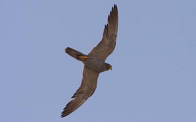 A black falcon flying over the Negev (photo credit: Meidad Gorden/Hanegev regional Council)
